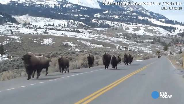 Bison fleeing Yellowstone. What do they know that we do not?